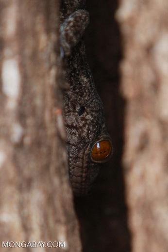 Sakalava's Velvet Gecko (Homopholis sakalava) [madagascar_4063]