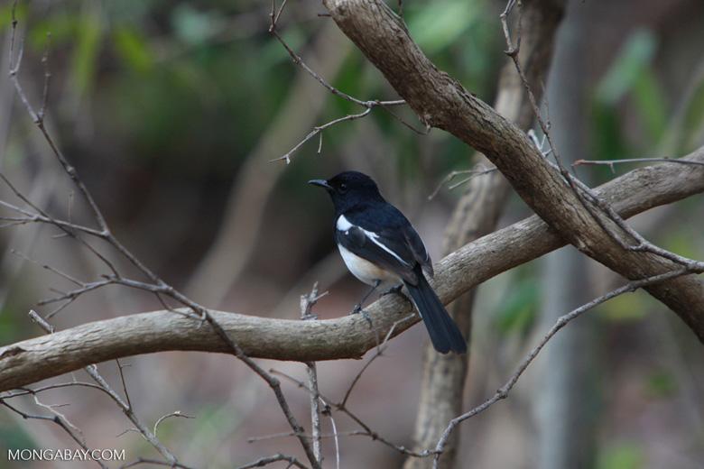 Madagascar Magpie-robin (Copsychus albospecularis) [male]