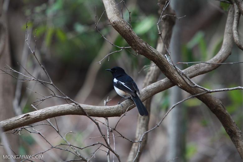 Madagascar Magpie-robin (Copsychus albospecularis) [male] [madagascar_4069]
