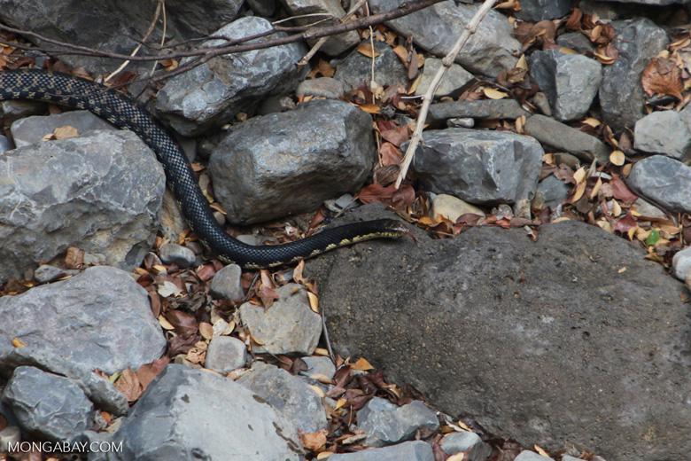 Malagasy giant hog-nose snake (Leioheterodon madagascariensis)