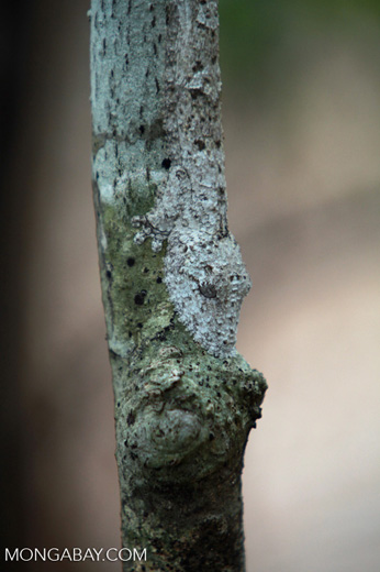 Frilled Leaf-tail Gecko (Uroplatus henkeli) [madagascar_4097]