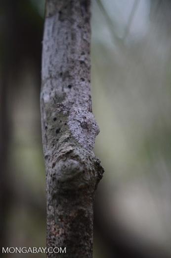 Frilled Leaf-tail Gecko (Uroplatus henkeli) [madagascar_4098]