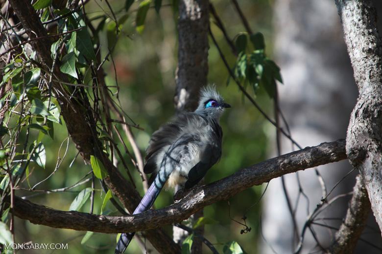 Crested Coua (Coua cristata) [madagascar_4166]