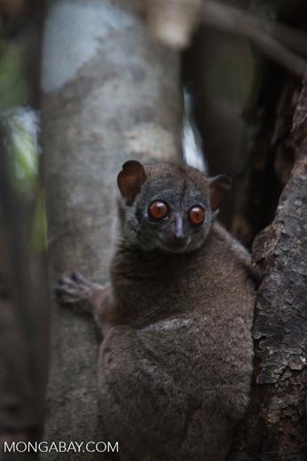 Northern Sportive Lemur (Lepilemur septentrionalis)