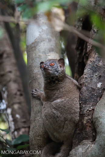 Northern Weasel Lemur (Lepilemur septentrionalis)