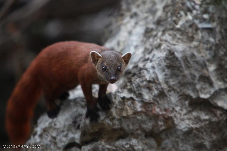 Ringtailed mongoose [madagascar_4253]