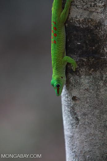 Madagascar day gecko (Phelsuma madagascariensis) [madagascar_4287]