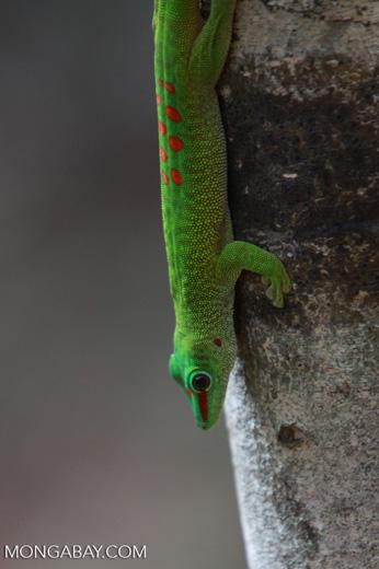 Madagascar day gecko (Phelsuma madagascariensis) [madagascar_4291]