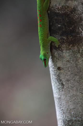 Madagascar day gecko (Phelsuma madagascariensis) [madagascar_4292]