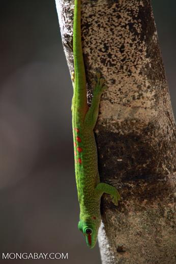 Madagascar day gecko (Phelsuma madagascariensis) [madagascar_4295]