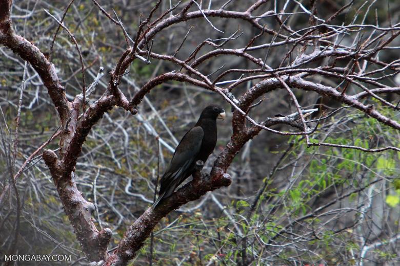 Greater Vasa Parrot (Coracopsis vasa) [madagascar_4316]