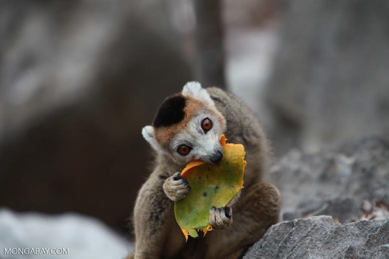 Female crowned lemur feeding on a mango rind [madagascar_4329]