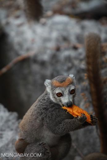 Female crowned lemur feeding on a mango rind [madagascar_4345]