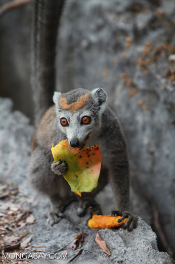 Female crowned lemur feeding on a mango rind while perched upon limestone tsingy [madagascar_4356]