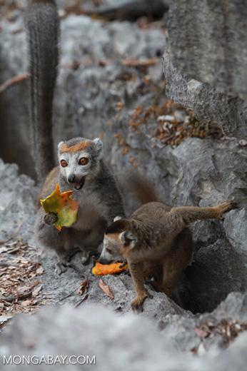 Female crowned lemur feeding on a mango rind while perched upon limestone tsingy [madagascar_4362]
