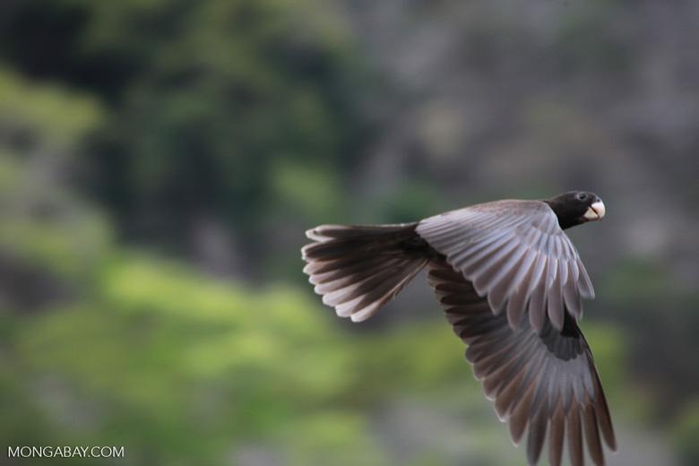 Greater Vasa Parrot (Coracopsis vasa) in flight [madagascar_4368]