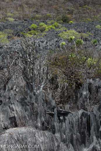 Succulent plants growing in the harsh conditions of the tsingy environment