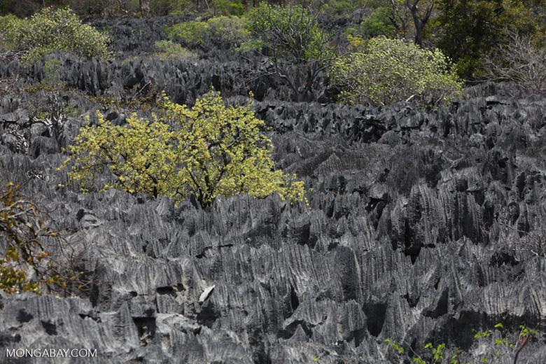 Trees growing between tsingy near Lac Vert