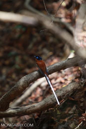 Male Madagascar Paradise-flycatcher (Terpsiphone mutata [madagascar_4437]