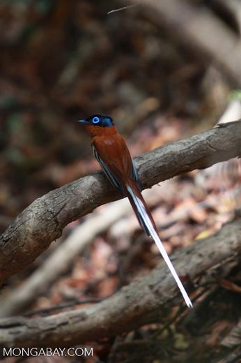 Male Madagascar Paradise-flycatcher (Terpsiphone mutata [madagascar_4438]