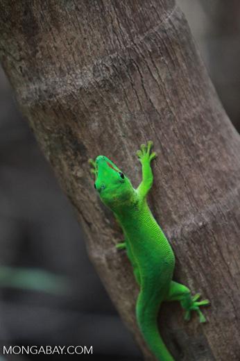 Madagascar day gecko (Phelsuma madagascariensis) [madagascar_4439]