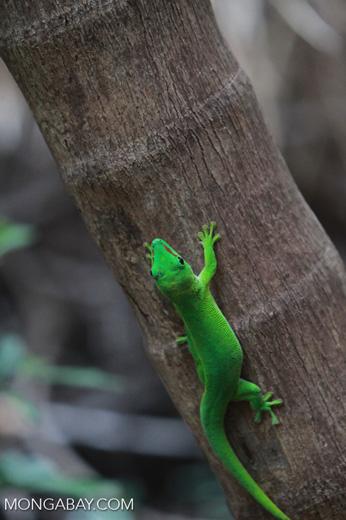 Madagascar giant day gecko (Phelsuma madagascariensis) [madagascar_4440]