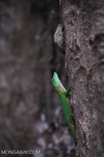 Madagascar giant day gecko (Phelsuma madagascariensis) [madagascar_4443]