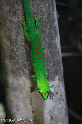 Madagascar giant day gecko (Phelsuma madagascariensis) [madagascar_4444]