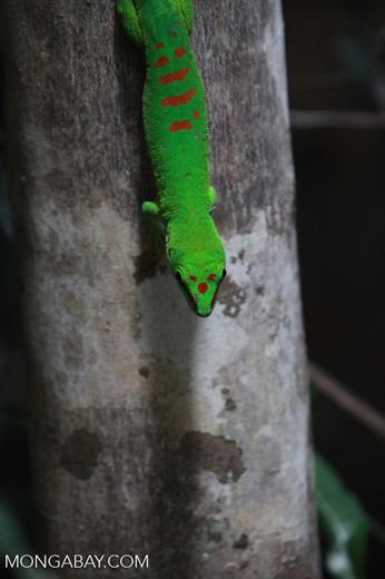 Madagascar giant day gecko (Phelsuma madagascariensis) [madagascar_4445]