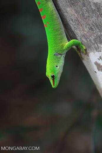Madagascar giant day gecko (Phelsuma madagascariensis) [madagascar_4450]