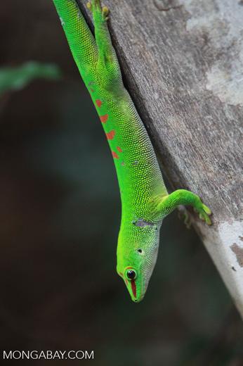 Madagascar giant day gecko (Phelsuma madagascariensis) [madagascar_4452]