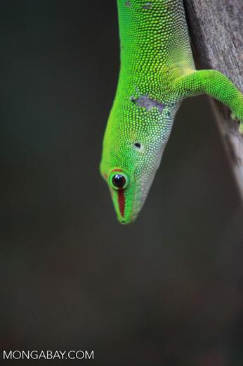 Madagascar giant day gecko (Phelsuma madagascariensis) [madagascar_4453]