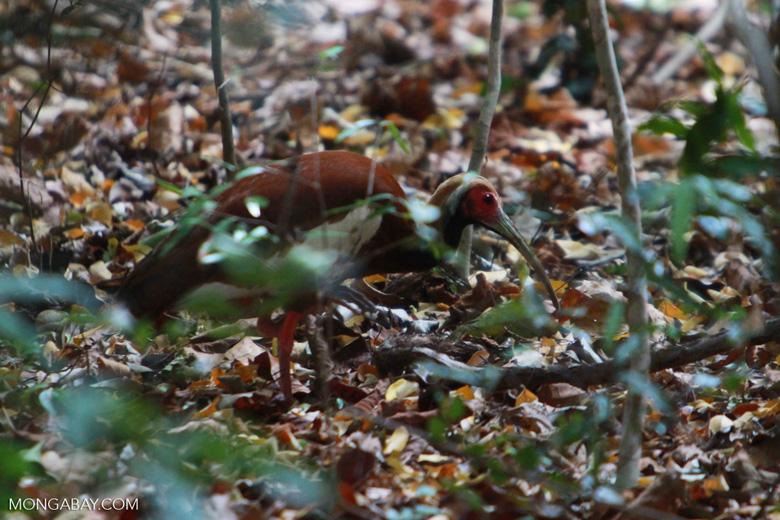 Madagascar Ibis (Lophotibis cristata) [madagascar_4461]