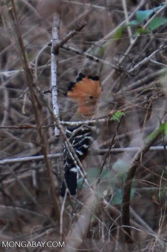 Madagascar Hoopoe (Upupa epops marginata)