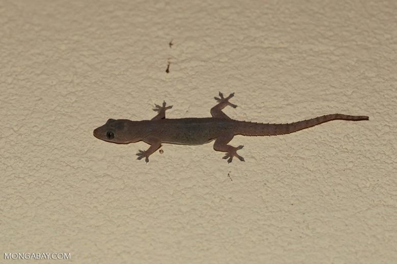 House gecko [madagascar_4500]