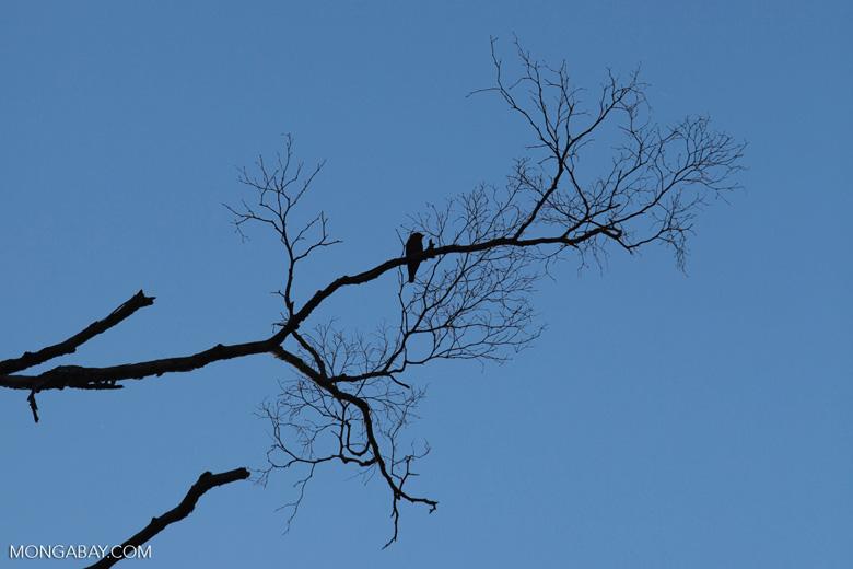 Bird - Broad-billed Roller (?)