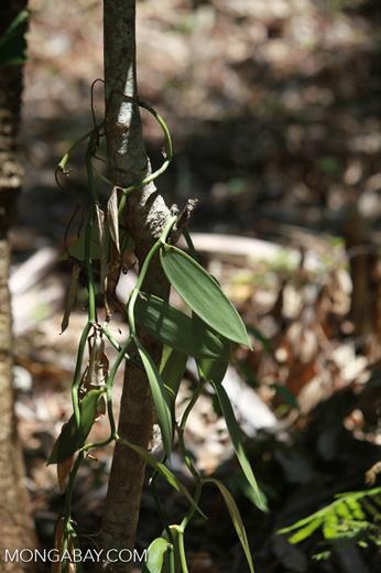 Vanilla plant leaves
