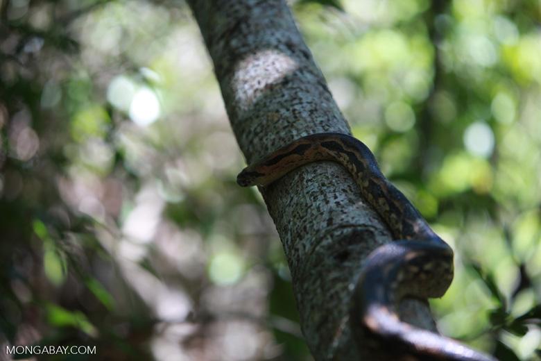 Madagascar ground boa (Boa madagascariensis)