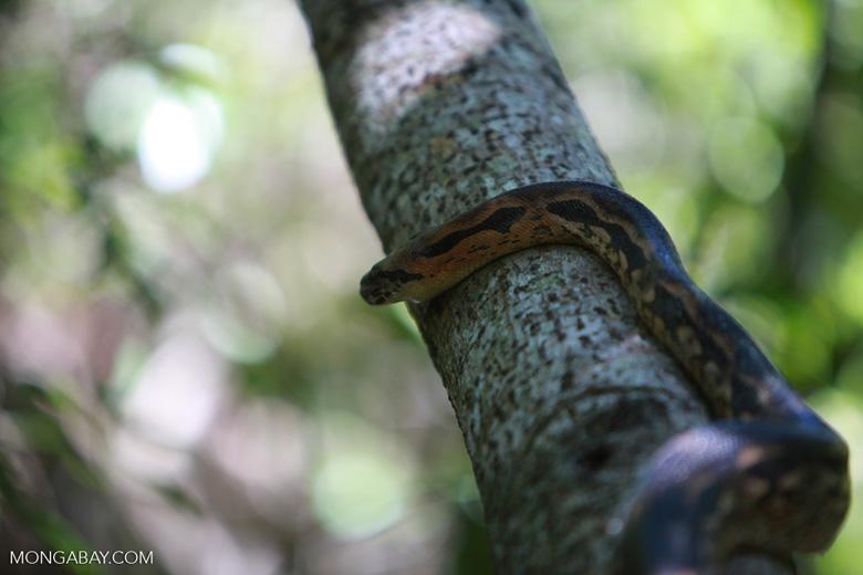 Madagascar ground boa (Boa madagascariensis) [madagascar_4545]