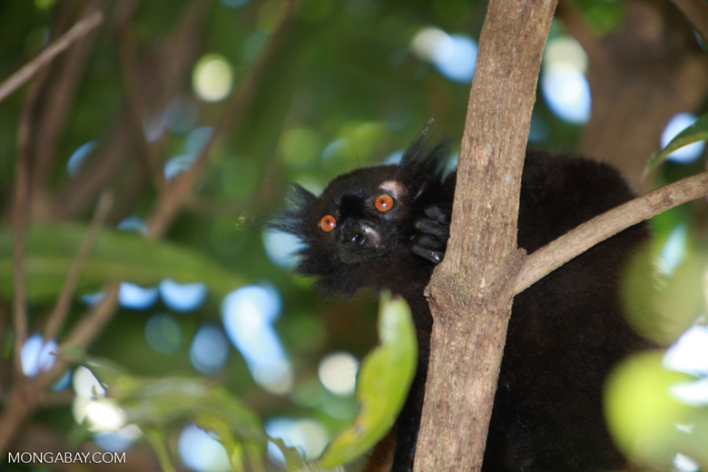 Male black lemur (Eulemur macaco) [madagascar_4579]