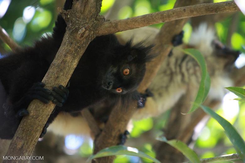 Male black lemur (Eulemur macaco) [madagascar_4580]