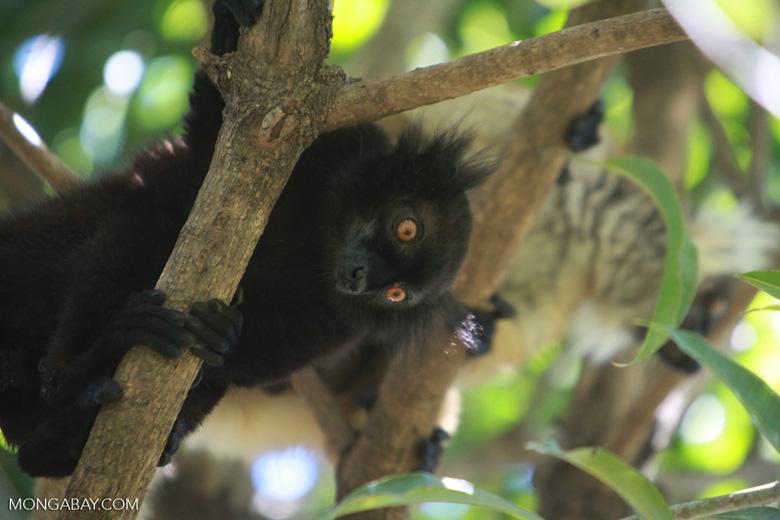 Male black lemur (Eulemur macaco) [madagascar_4585]