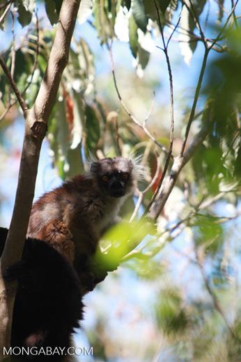 Female black lemur (Eulemur macaco) [madagascar_4588]