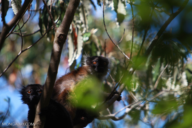 Female black lemur (Eulemur macaco) [madagascar_4589]