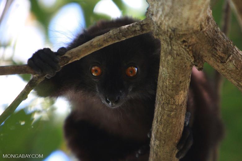 Male black lemur (Eulemur macaco) [madagascar_4597]