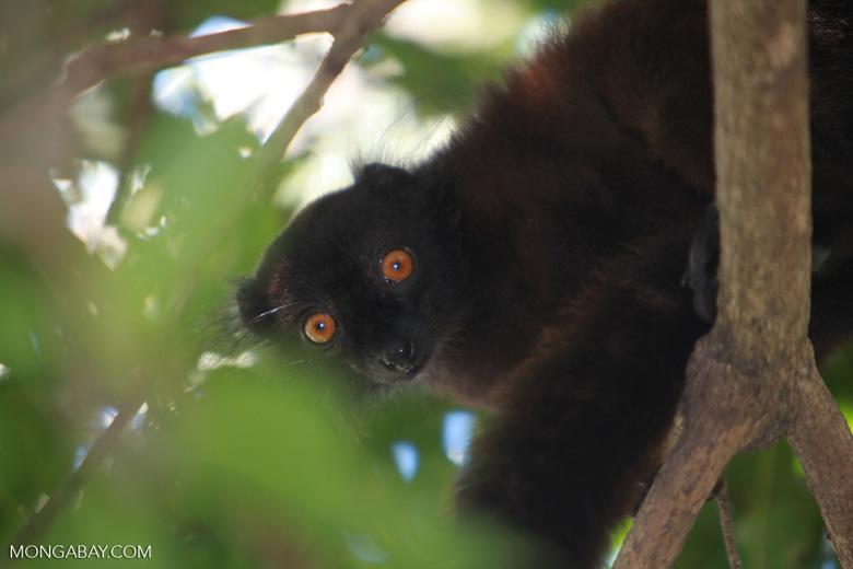 Male black lemur (Eulemur macaco) [madagascar_4603]