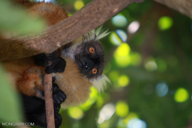 Female black lemur (Eulemur macaco) [madagascar_4606]