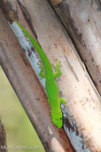 Madagascar giant day gecko (Phelsuma madagascariensis) on Nosy Be [madagascar_4607]