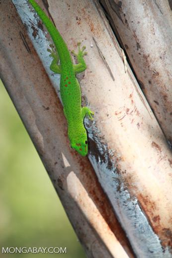 Madagascar giant day gecko (Phelsuma madagascariensis) on Nosy Be [madagascar_4608]