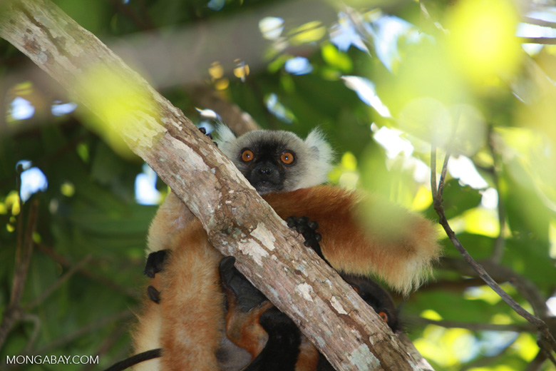Female black lemur (Eulemur macaco) [madagascar_4611]